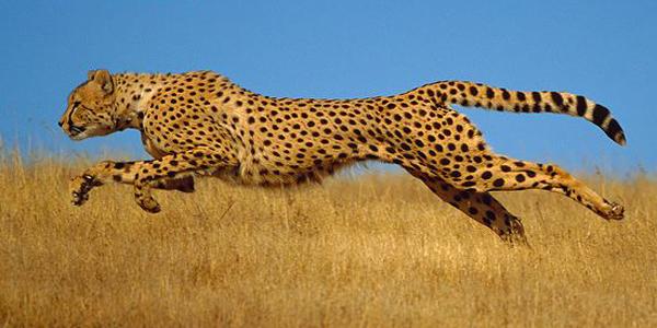ARKive image GES113733 - Cheetah